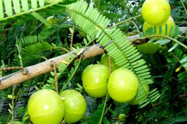Amalaki (Phyllanthus emblica): a rich food source of natural vitamin C