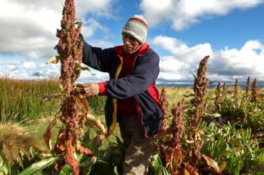 Focus: quinoa