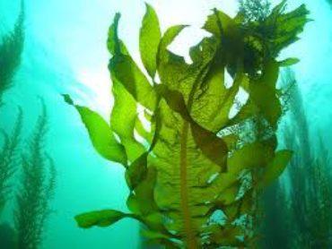 Focus: alga wakame