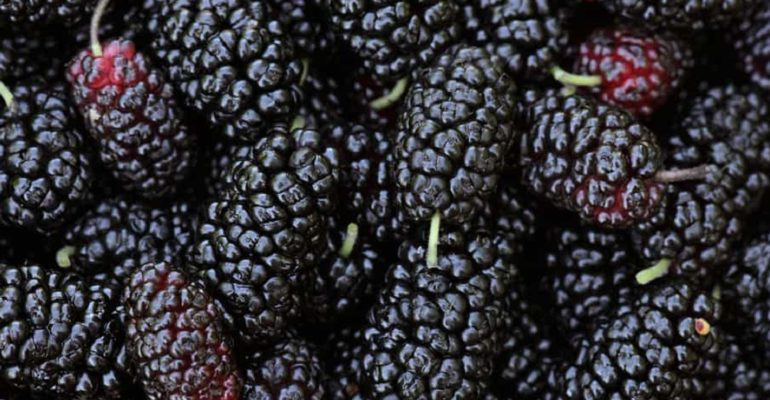 Mulberry fruit: source of polysaccharides with a prebiotic action